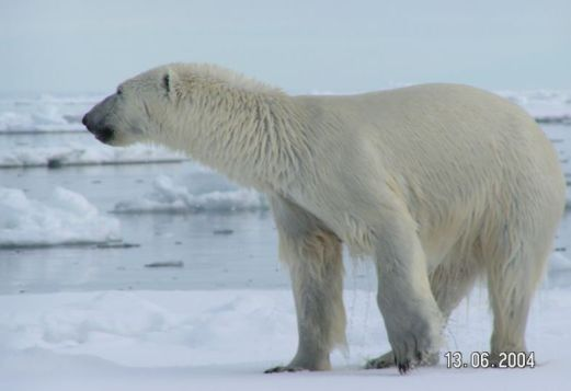 polarbear-looking-over-ice