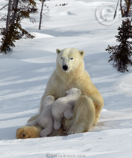 polarbear-mama-with-twin-nurselings