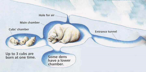 polarbear-winter-den-diagram
