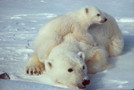 polarbear-young-atop-mama