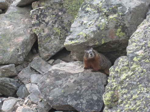 Rockchuck-aka-Marmot.in-rocks.jpg