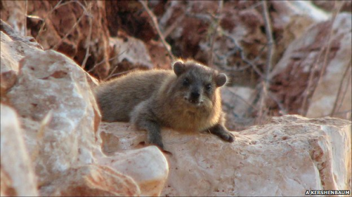 RockHyrax.on-rocks.png