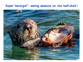 seaotter-eating-abalone