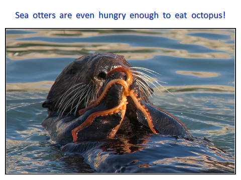 SeaOtter-eating-octopus.png