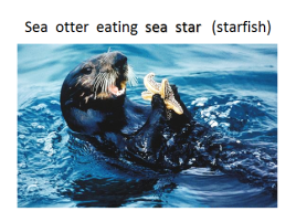 seaotter-eating-starfish