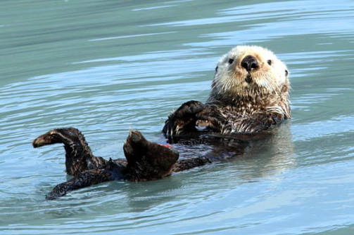 SeaOtter.floating.png