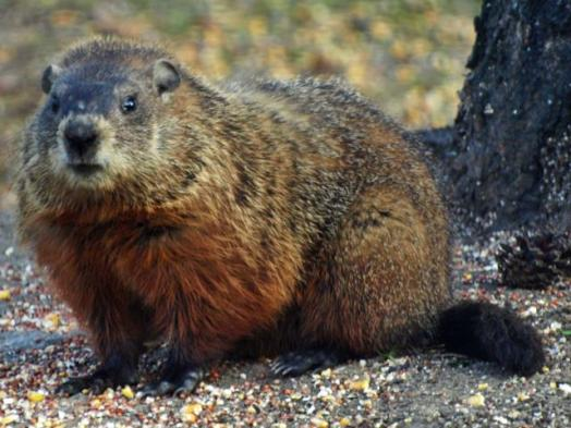 woodchuck-aka-groundhog-by-tree