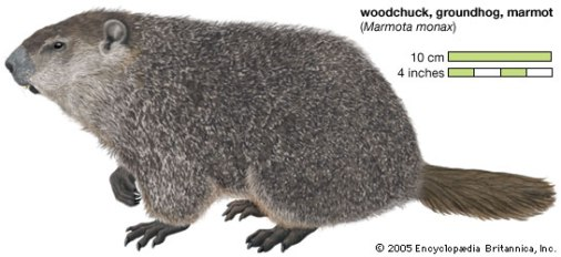 woodchuck-pic-encycbritannica