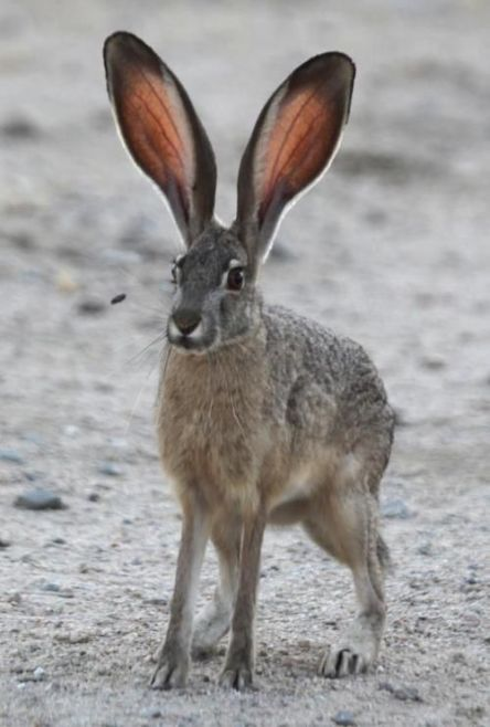 Blacktailed-Jackrabbit-HugeEars.Pinterest