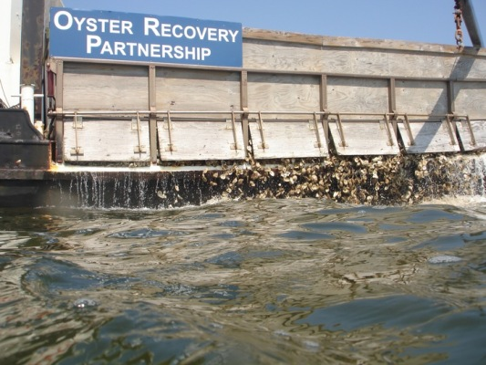 Oyster-restoration-recycling-shells.PBS