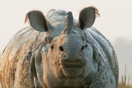 rhino-1horned-closeup