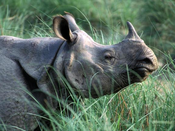 Rhino-1horned-Indian.WWF