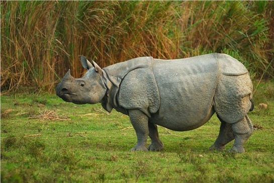 rhino-Indian-1horned-in-wild