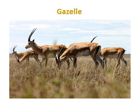 Gazelle-foraging.jjsj-PPTslide