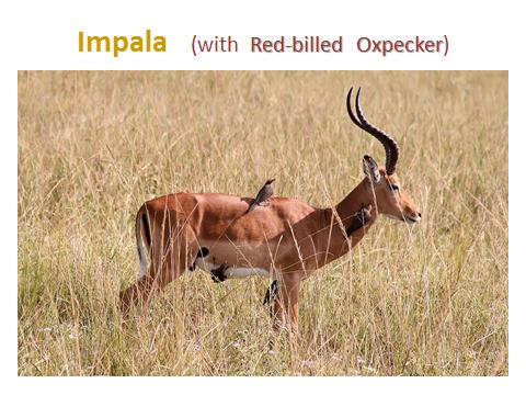 Impala-w-oxpecker.jjsj-PPTslide