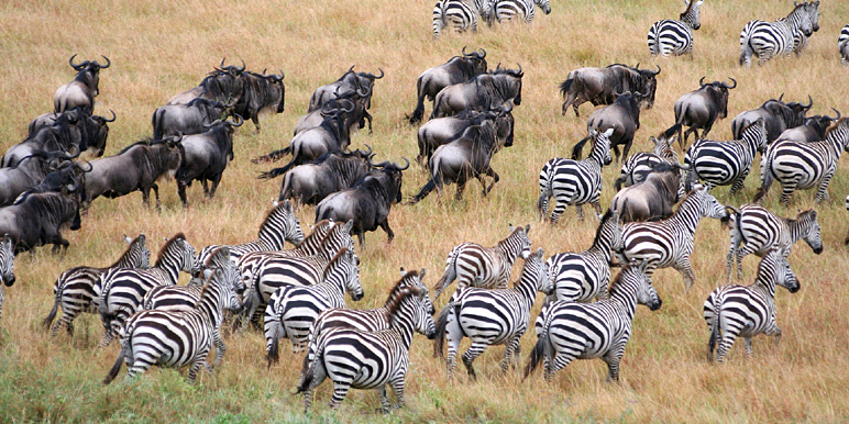 Serengeti-migraton-wildebeest-zebra.ZambesiSafari-photo