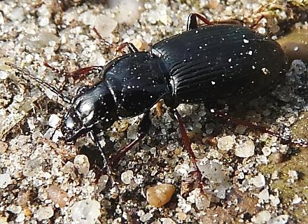 Carabid-GroundBeetle.MarkEising-photo