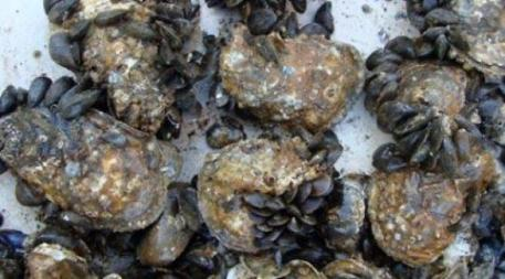 HookedMussels-on-Oysters.MdDeptNaturalResources