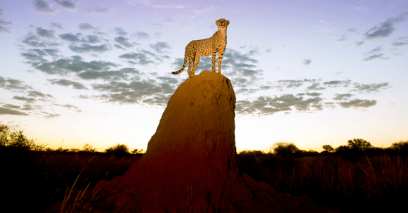 Termite-mound-with-cheetah-Namibia.SeedingLabs