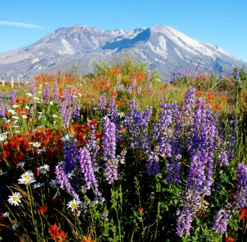MountSt.Helens-recovery-wildflowers.SeattleTimes