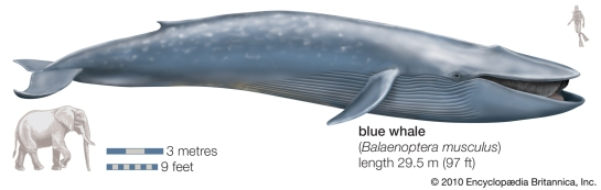 Blue-whale-vs.-elephant-Britannica-pic