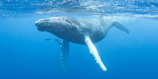 Humpback-Whale.NWF