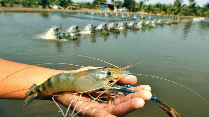 India-freshwater-shrimp-farming
